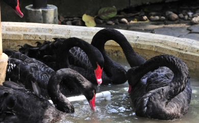 Variedad de especies conviven en el Oasis portuario, éstos son cisnes negros que habitan el lugar