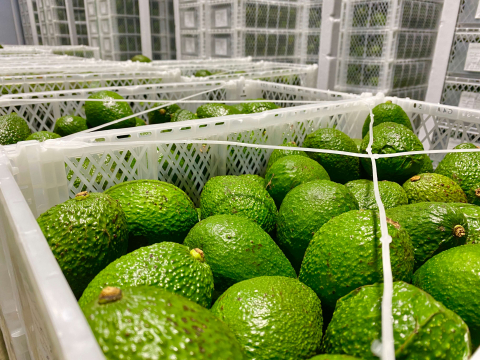 aguacate-hass-puerto